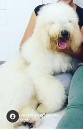 Poodle Gigante (Standard)
