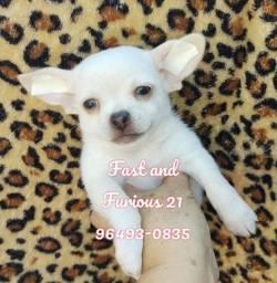 Chihuahua macho branco