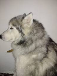 Husky Siberiano Wolly