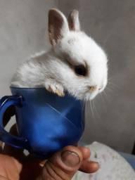 Vendo mini coelho
