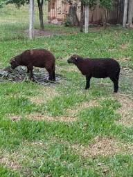 Ovelhas pretas