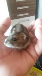 Vende-se hamster russo