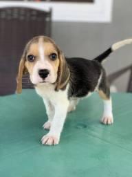 Lindas fêmeas de Beagle em promoção