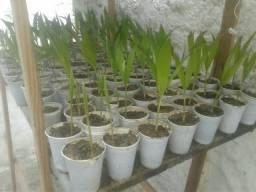 Palmeira Avaii
