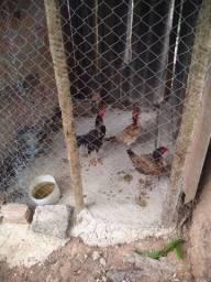 Vende-se galinhas índias e uma chocadeira urgente !