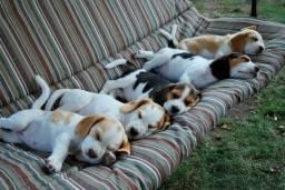 Beagle tricolor raça pura, com recibo, garantia e pedigree