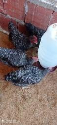 Franguinhos machos da Raça Carijós. 60 dias.