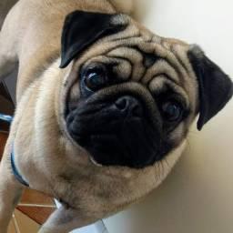 Costelinha Pug o seu novo Genro kk (para namorar)