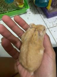 Doação de hamster sírio