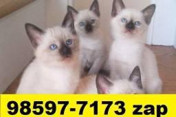 Gatil em BH Lindíssimos Filhotes de Gatos Siamês Persa ou Angora