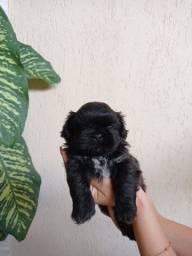 Vendo filhote cachorro Shih tzu