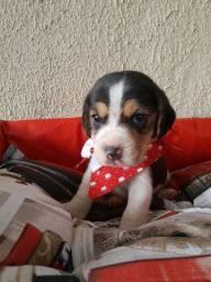 Macho de Beagle 13 polegadas