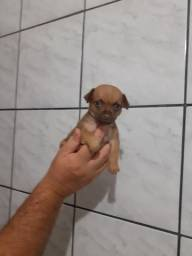 Linda filhotinha de pinscher zero de pai e mãe zero 1500 reais para entrega