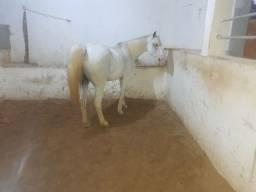 Cavalo égua
