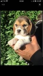 Beagle -