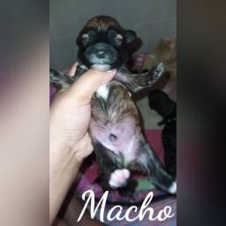 Filhote de Poodle N°1