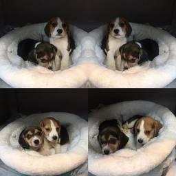 Beagle lindos filhotes lindos !