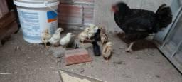 Pintos de quintal 10 a15 dias de nascidos