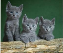 Procuro gatinho cinza pra adotar