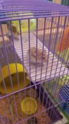 Hamster Anão Sírio