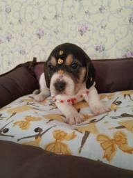 Fêmea leve alegria teu lar Beagle