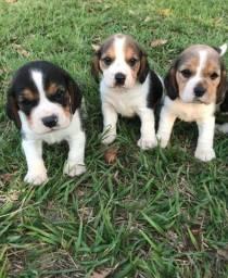 Beagle - Filhotes de Procedência - Garantias de saude