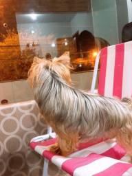 Yorkshire Terrier macho 1400