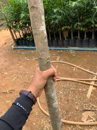 Reflorestamento  NÃO PERCA TEMPO ÁRVORES