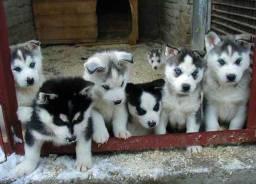 Husky Siberiano entregamos em todo Brasil!