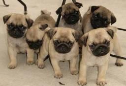 Maravilhosos pugs