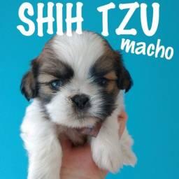 Graciosos filhotes de shihtzu