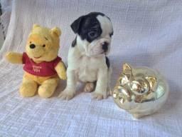 Bulldog Filhotes Maravilhosos Bem Vacinados