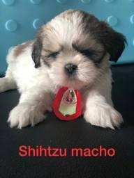 Shihtzu com assistência veterinária gratuita