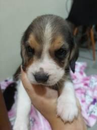 Filhotes de beagles