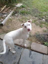 Pitbull hed albino