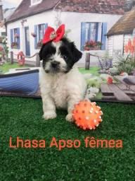Lhasa Apso Fêmea