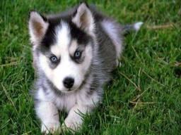 Husky Siberiano Filhotes Garantia de saúde Pedigree