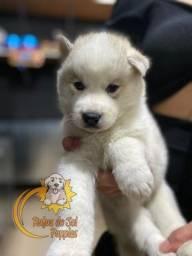 Promoção de dia das mães filhotes de Husky Siberiano fofos