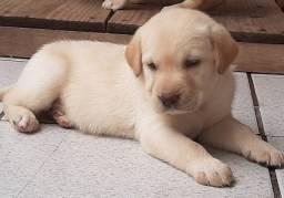 Labrador - Filhotes Lindos com Pedigree !!!