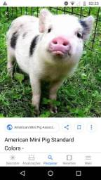 Doou porquinho filhote urgente
