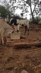 1 vaca e 1 novilha