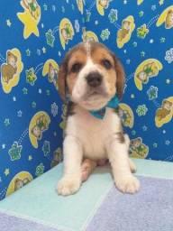 !!!SUPER PROMOÇÃO!!! Filhotes de beagle