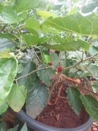 Mudas frutíferas em geral