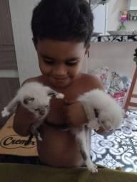 Doação de Gatinhas Siamês