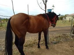 Vendo cavalo QM 6anos garanhão