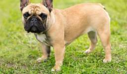 Bulldog Francês pirata/tigrado/fulvo/branco,a pronta entrega
