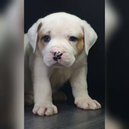 Bulldog americano fêmeas e machinhos já vacinados com todas garantias em contrato