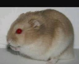 Hamsters anão russo e sírio R$ 25