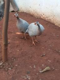 Casal de galinha da angola cor azul