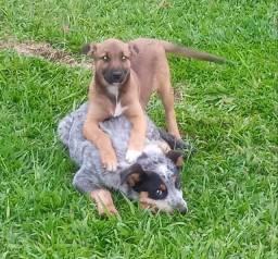 Cão Burriler Puro